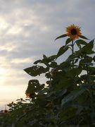もう秋なのに孤高に咲くひまわり。