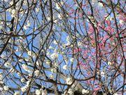 小金井公園。梅が真っ盛り。