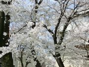 今年の桜の花の色は薄いという噂も。でも綺麗。