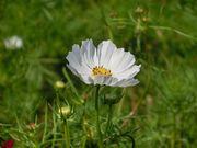 暑い時にはコスモスの花