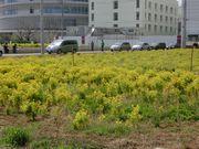 近隣の風景(もう一度菜の花)