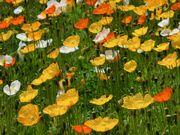 東京、立川市、昭和記念公園のお花です。
