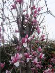 木蓮の花。(だと思う)春の花が今綺麗だ。