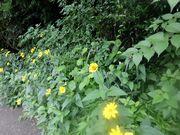「黄色い花」は夏の象徴。近所の道端から。