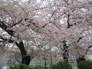 一緒に見た桜、すごく綺麗だったね。あなたのこと、忘れないよ。