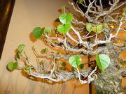ハートの形が可愛い盆栽