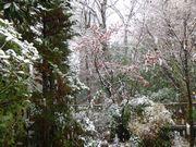 葉を落とす力のない紅葉の上に雪が積もった