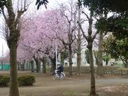 公園の桜。五日前に撮影。もう散ってしまったかな。