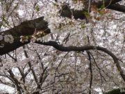 桜、桜、ただ咲き誇る♫